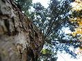 Picea abies (1111) 03.JPG