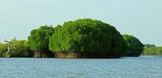 Pichavaram - Pichavaram hosts the second largest mangrove forests in the world