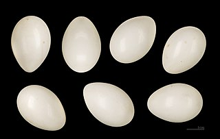 Žlna zelená - vajíčka