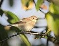 Pied flycatcher (35942839693).jpg