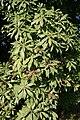 Pieris japonica - La Hulpe.JPG