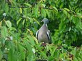 Pigeon ramier sur cerisier.JPG