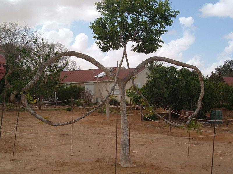 עץ המשקפיים