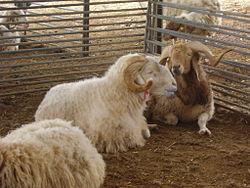 מקורי כבש הבית – ויקיפדיה YP-38