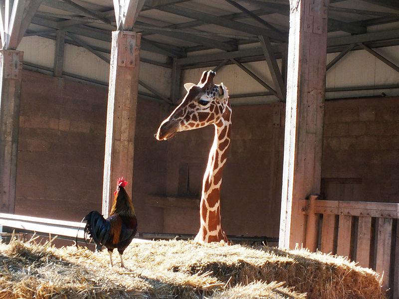 דיאלוג בין ג'ירף לתרנגול