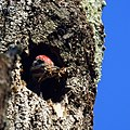 Pileated Woodpecker (6156239733).jpg