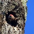 Pileated Woodpecker (6156239733).jpg