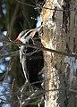 Pileated woodpecker (2391497812).jpg