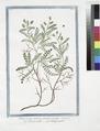 Pimpinella spinosa semper virens - Pimpinella - Pimprenelle (NYPL b14444147-1125103).tiff