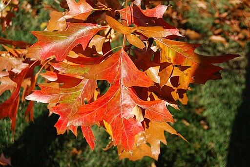 http://upload.wikimedia.org/wikipedia/commons/thumb/d/d2/Pin_Oak_Leaves.jpg/512px-Pin_Oak_Leaves.jpg