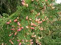 Pinaceae cones (immatures).JPG