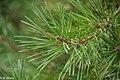 Pine In Summer (152428235).jpeg