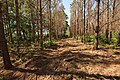 Pine tree thinning in Nacogdoches County, Texas. (24744689909).jpg