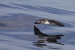 Pink-footed Shearwater (Puffinus creatopus) (10573295034).jpg