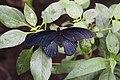 Pink Rose Butterfly (Pachliopta kotzebulea) (5622527632).jpg