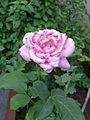 Pink rose evolution 04.jpg