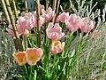 Pink tulip in Greenhouse of Flower Festival Commemorative Park.jpg