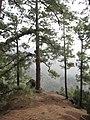 Pinus canariensis forest Caldera de Taburiente 3.jpg