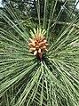 Pinus jeffreyi - kew 2.jpg