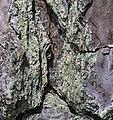 Pinus palustris bark 7 NBG LR.jpg