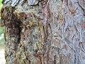 Pinus silvestrys - Beli bor (2).jpg