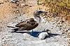 Piquero patiazul (Sula nebouxii), Punta Pitt, isla de San Cristóbal, islas Galápagos, Ecuador, 2015-07-24, DD 72.JPG