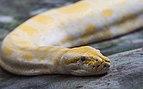 Pitón de la India (Python molurus), Zoo de Ciudad Ho Chi Minh, Vietnam, 2013-08-14, DD 01.JPG