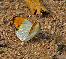 Plain Orange-Tip, Colotis eucharis- Male in Hyderabad, AP W IMG 7518.jpg