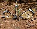 Plain Tiger (Danaus chrysippus)- mud-puddling in Hyderabad, AP W IMG 9741.jpg