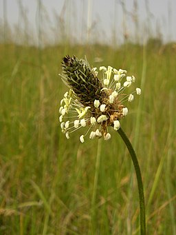 Plantago lanceolata (inflorescense)