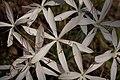 Plants Crinum Lily IMG 8223.jpg