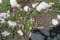 Plants am Rufikopf 16.JPG