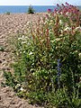 Plants on Slapton Sands - geograph.org.uk - 1360940.jpg