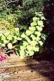 Plectranthus . fruticosus L'Herit (AM AK304785-1).jpg