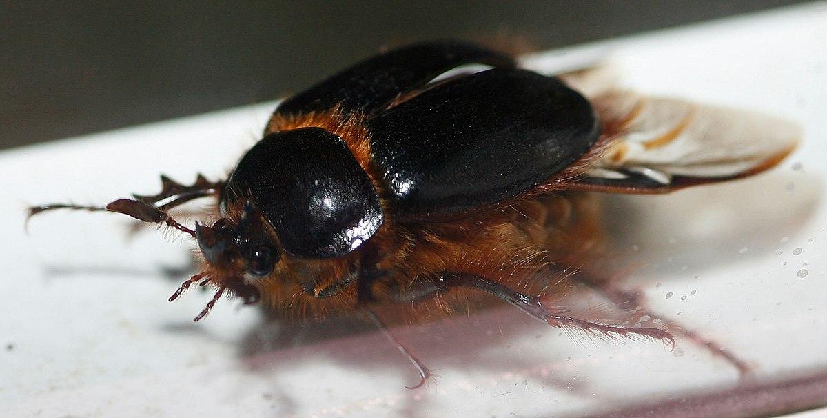 Rain beetle - Wikipedia