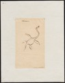 Plesiosaurus spec. - 1700-1880 - Print - Iconographia Zoologica - Special Collections University of Amsterdam - UBA01 IZ12200113.tif