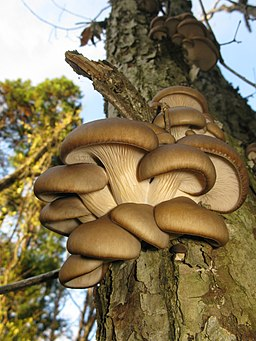 Pleurotus ostreatus, Japan 1