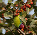 Plum-headed Parakeet (Psittacula cyanocephala) feeding on Ficus benghalensis W IMG 4308.jpg