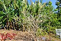 Plumeria obtusa - Naples Botanical Garden - Naples, Florida - DSC00036.jpg