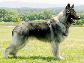 Shiloh Shepherd Dog.
