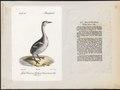 Podiceps auritus - 1700-1880 - Print - Iconographia Zoologica - Special Collections University of Amsterdam - UBA01 IZ17800077.tif
