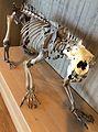 Polar bear skeleton Judaberg, Finnøy, Norway Stavanger Arkeologisk museum 2015-05-27 02.jpg