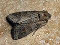 Polia bombycina - Pale shining brown - Садовая совка стальниковая (41034200002).jpg