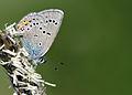 Polyommatus bellis (3).jpg