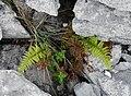 Polystichum aculeatum Burren Flora 04.jpg