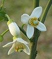 Pomelo flower.jpg
