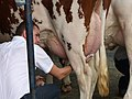Pontivy concours bovin traite Pie Rouge des Plaines 03.jpg