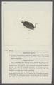 Porcellio lugubris - - Print - Iconographia Zoologica - Special Collections University of Amsterdam - UBAINV0274 098 08 0027.tif