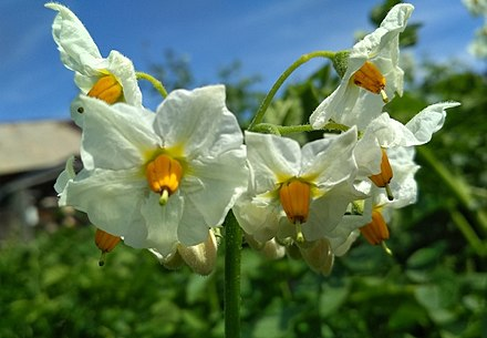 Potato flower close-up. Eastern Siberia Potato flower close-up. Eastern Siberia.jpg