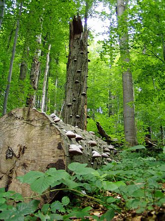 Ancient and Primeval Beech Forests of the Carpathians and Other Regions of Europe - Image: Prales Stužica